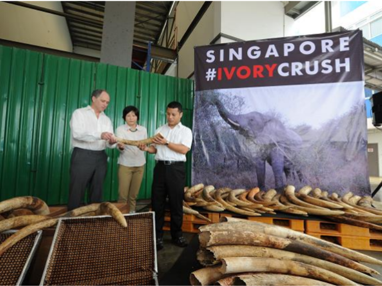 singapore crushes illegal ivory worth 10 million