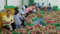 vietnam suffers as china sets trade barriers on farm produce