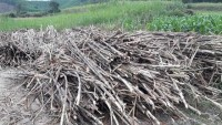 unfair competition strangles the sugarcane enterprises