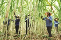 sugarcane businesses to try to cope with atiga