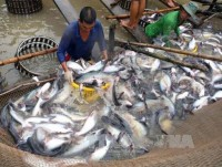exporters are worried about a rapid increase in the price of pangasius catfishes