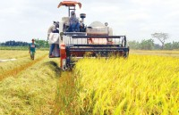 rice export slumps in second quarter