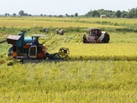vn rice exports plunge