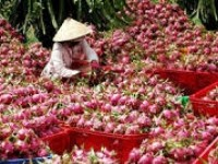 vn poised to export dragon fruit to australia japan