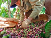 coffee export growth beyond expectations