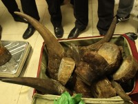 noi bai customs seize more than 50 kgs of imported rhino horn