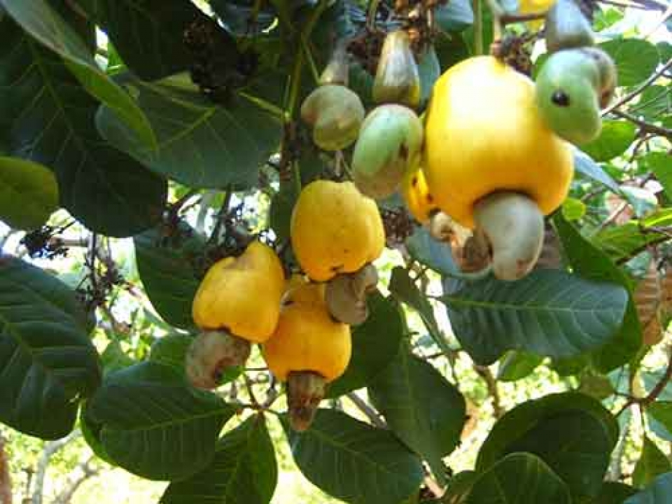 in 2017 cashew industry will reach us 3 billion of export