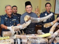 malayssia customs seize over rm10mil worth of ivory pieces