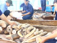seizing more than 2 tons of smuggling ivory at cat lai port