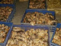 customs determined to prevent poultry smuggling