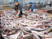 pangasius hypophthalmus fish exports to china big opportunity but many risks