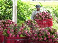 australia approves in principle import of vietnams dragon fruit