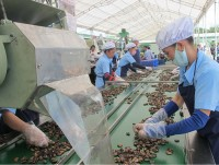 vietnams cashew industry turns to cambodia