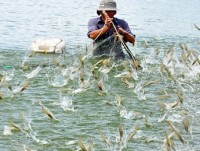 australian businesses to research on vietnam shrimp production chain
