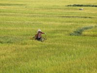 china set to cut into india vietnam rice exports in 2017 usda