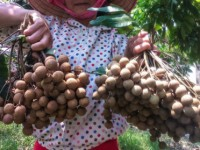 australian officials optimist about vietnamese longan imports from 2019