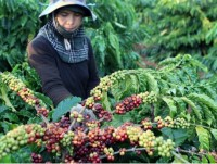 coffee exports earn vietnam us 13 million in first 4 months