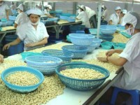 cashew nut farmers struggle to profit from fruits of their labour