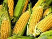 corn demand expands imports show steady growth
