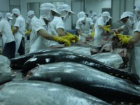 tuna exports continue to rise