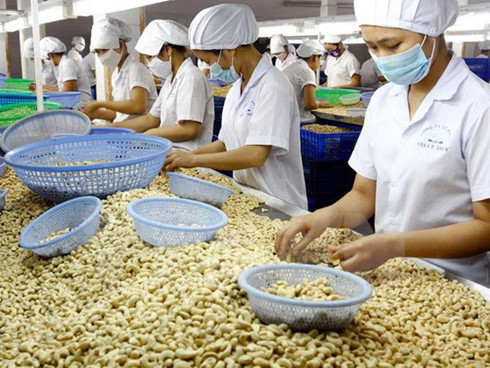 cashew nut exports on the rise