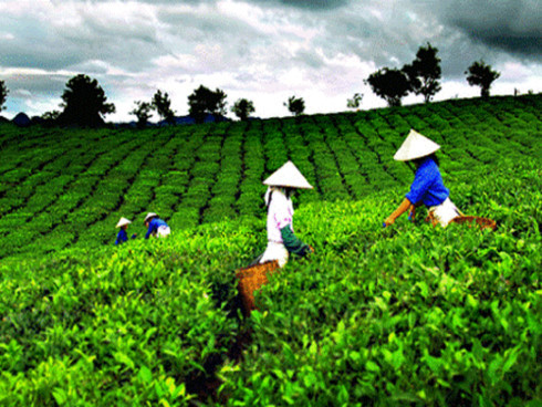 solving trouble brewing in the vietnam tea industry