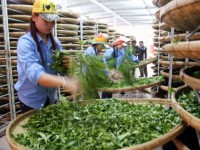 bright prospect for tea exports in final quarter