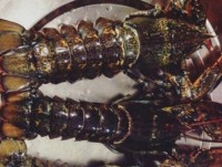 vietnam consumes 120 tons of canadian lobsters a year