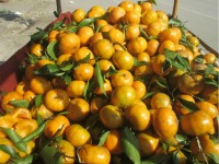 quang ninh seized 48 tons of smuggled chinese mandarin oranges