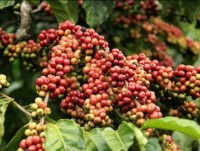 coffee exports carelessness is the loss of second position