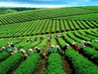 tea exports rebound but still lower than 5 years ago