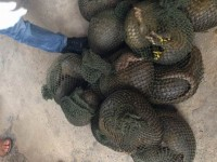 seized half ton of living pangolin