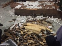 more than 600kg ivory hidden in 2 containers of imported wood